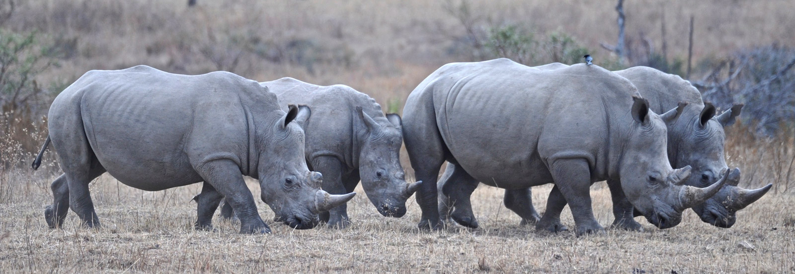 rhino-grouping-2-dex-kotze