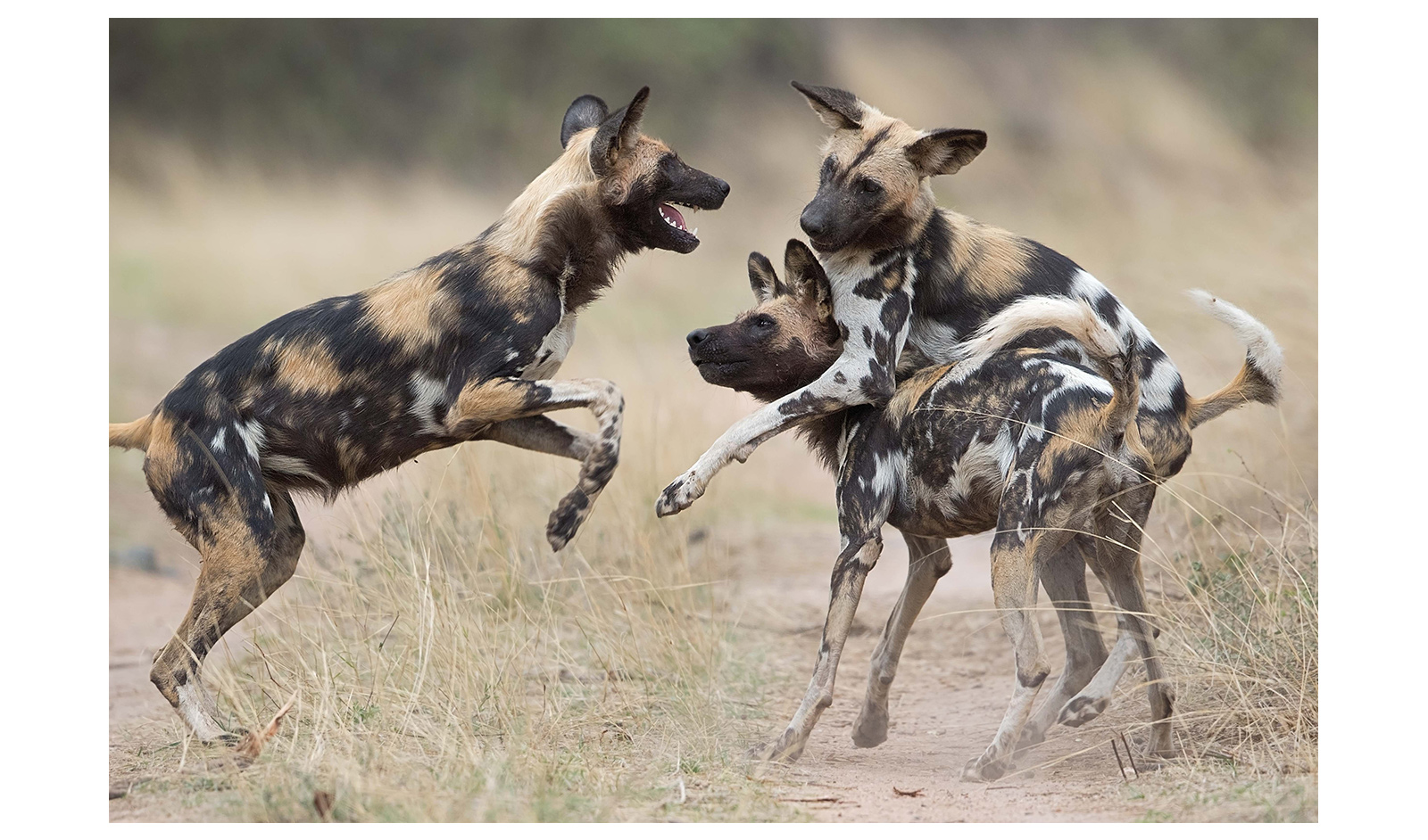 What Wildlife Shows Don't Tell You About African Wild Dogs ...