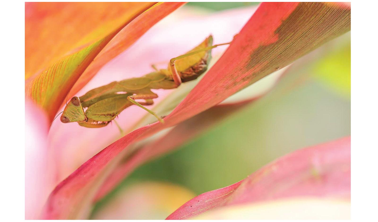 Brina-Brint-Praying-mantis