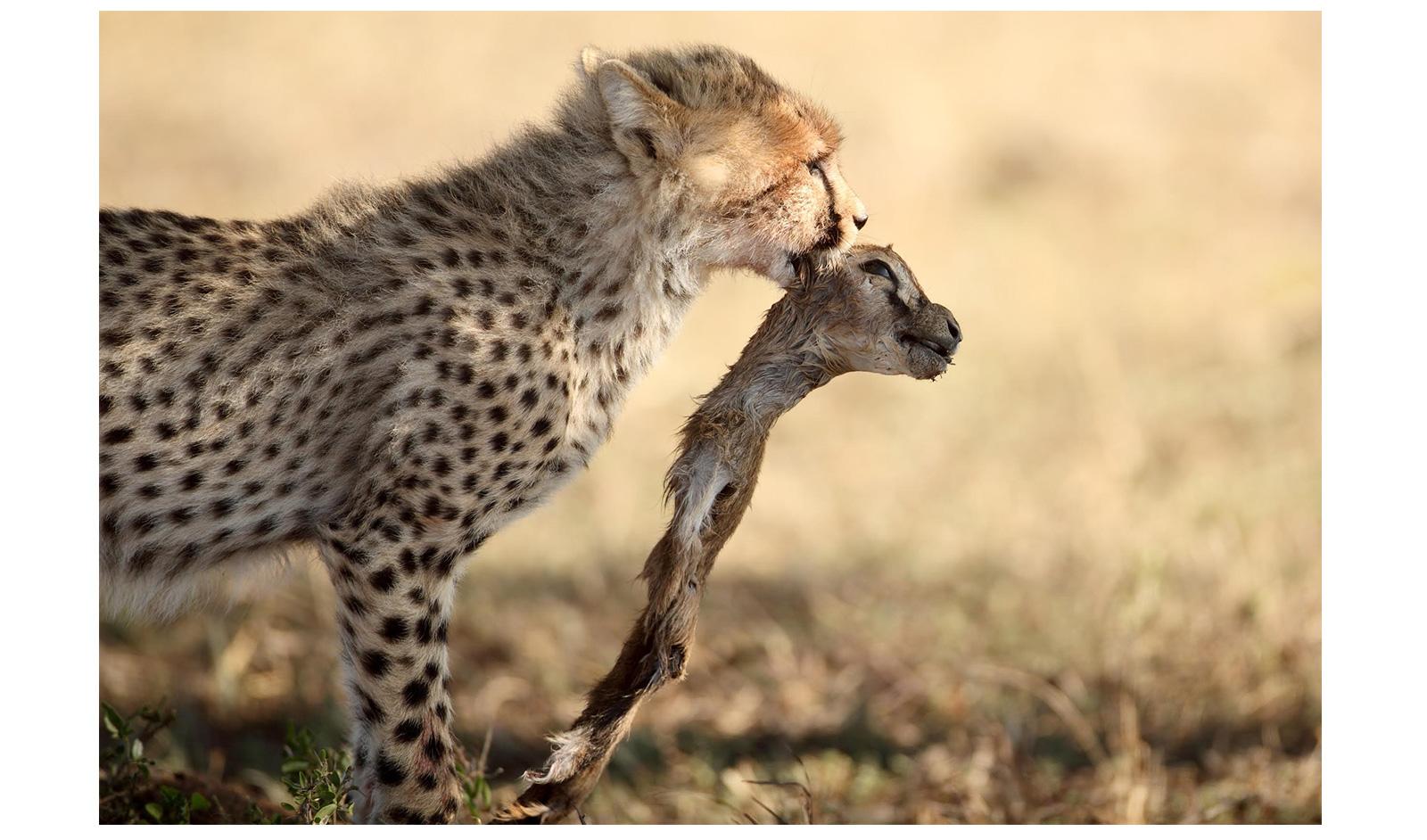Burak-Dogansoysal-cheetah-cub-and-gazelle-maasai-mara