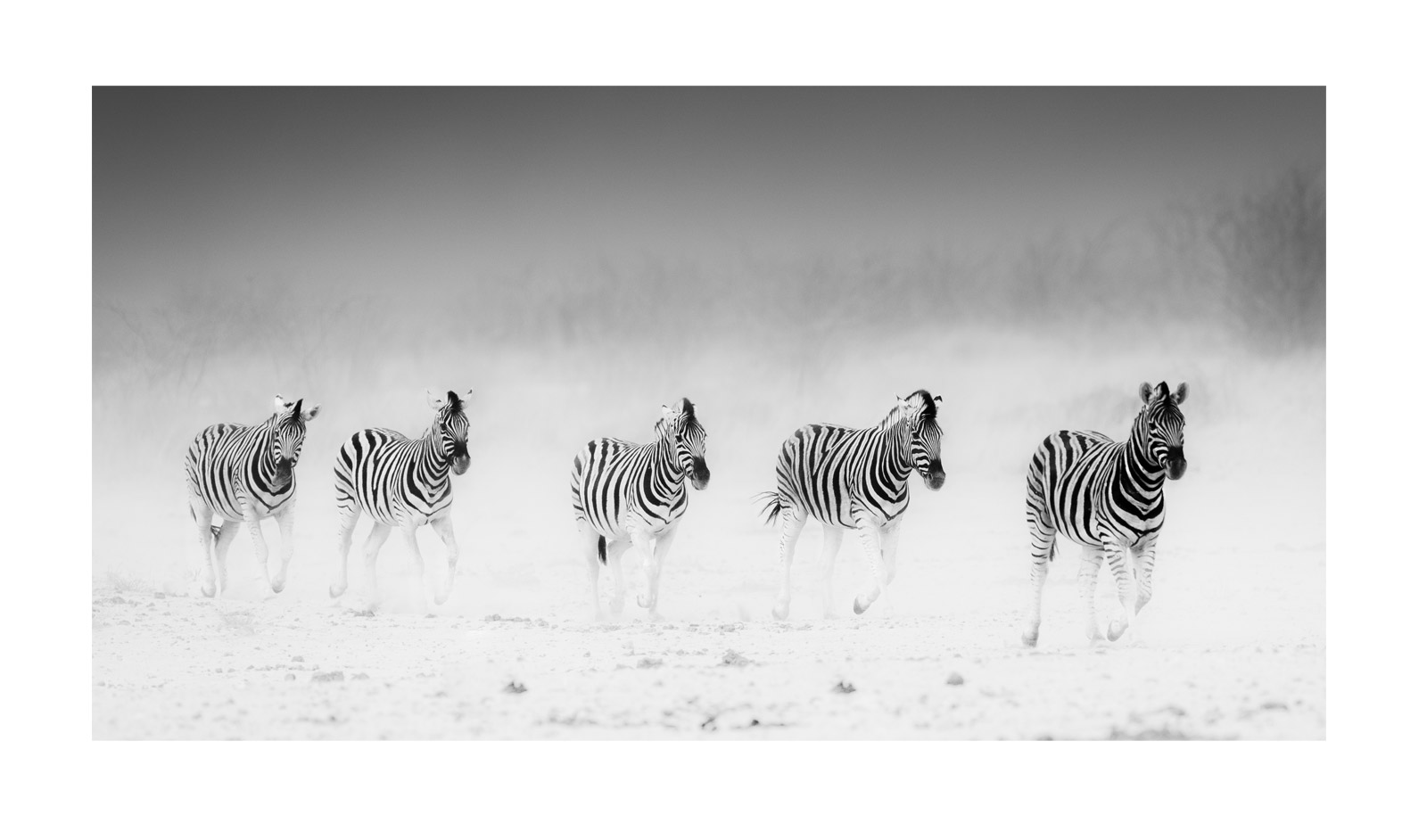 Corlette-Wessels-Etosha-zebra