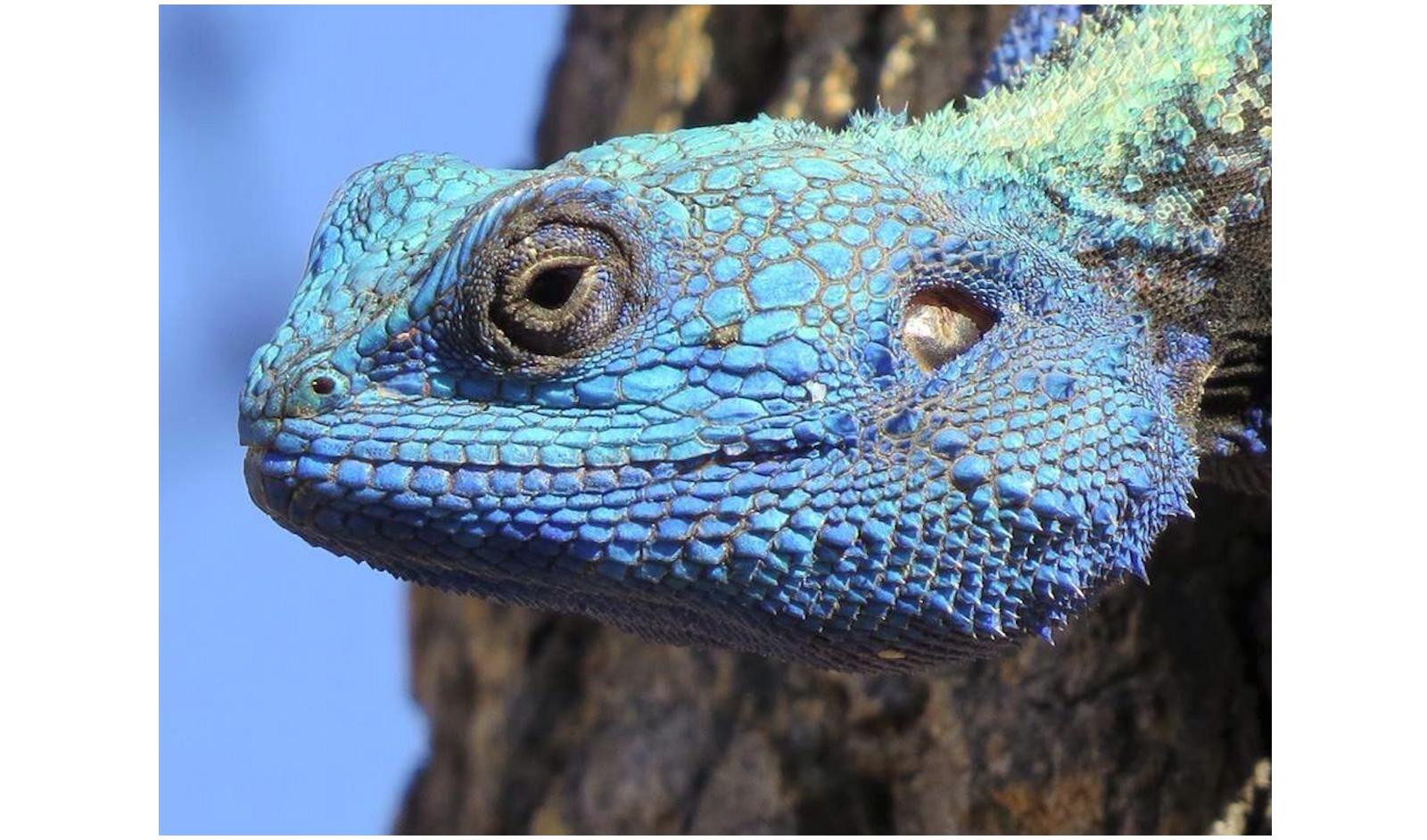blue headed agama kruger national park