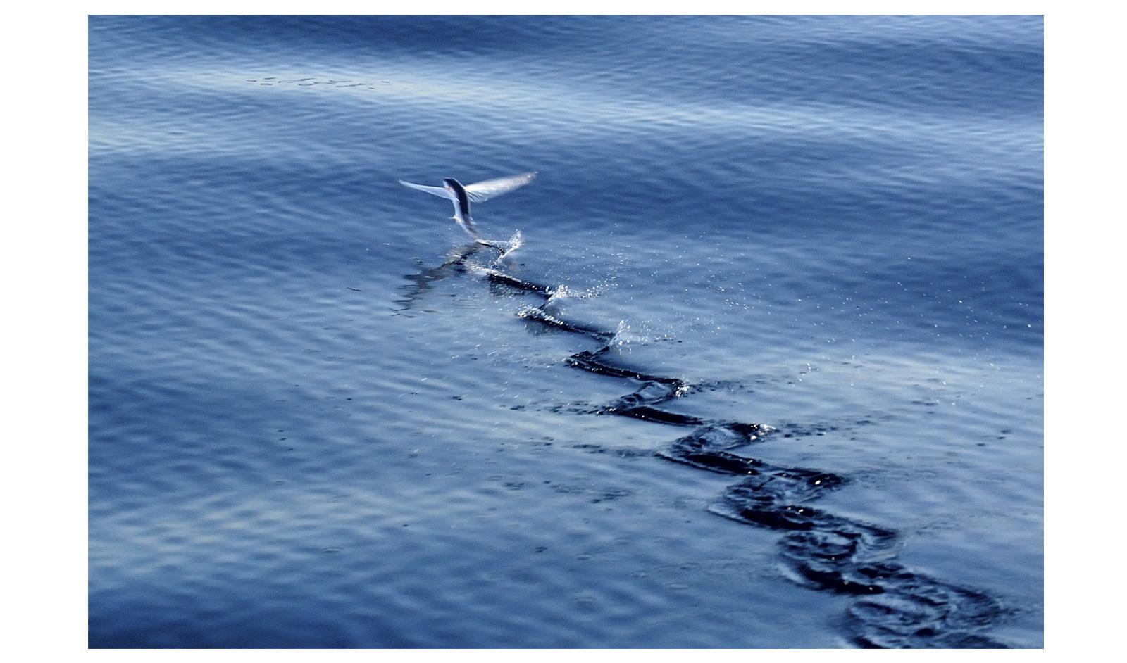 Hendrik-Louw---Flying-fish-Isimangaliso-Wetland-Park