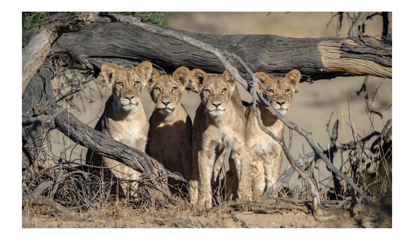 Kalahari-Corlette-wessels