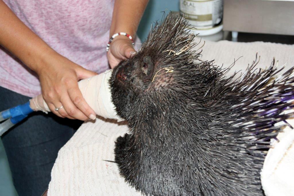 cape-fire-porcupine-treatment-spca