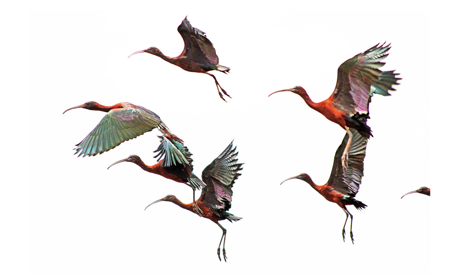 glossy-ibis--ilan-ossendryver-lBronkhorstspruit,-outside-of-Pretoria--Gauteng