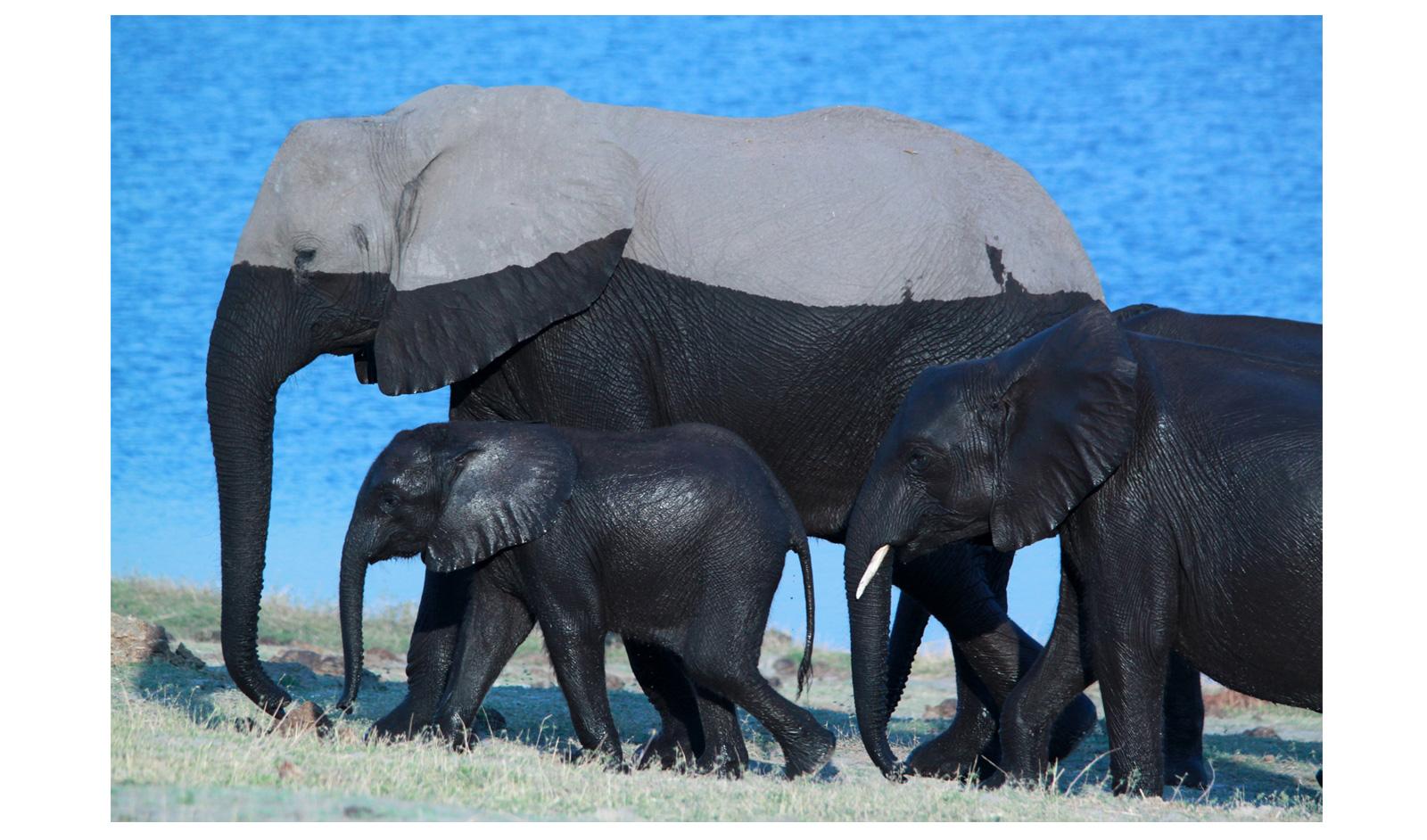 shareen-nash-elephant