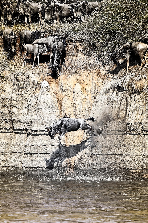 wildebeest-leaping-yulia-sundukova