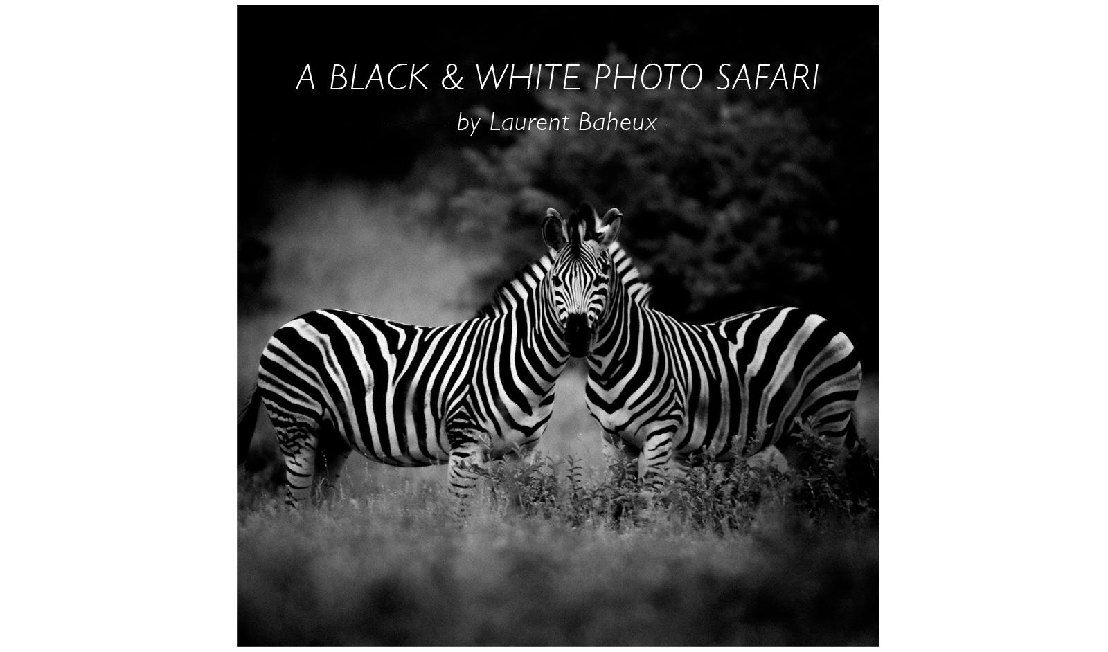 zebra-black-and-white