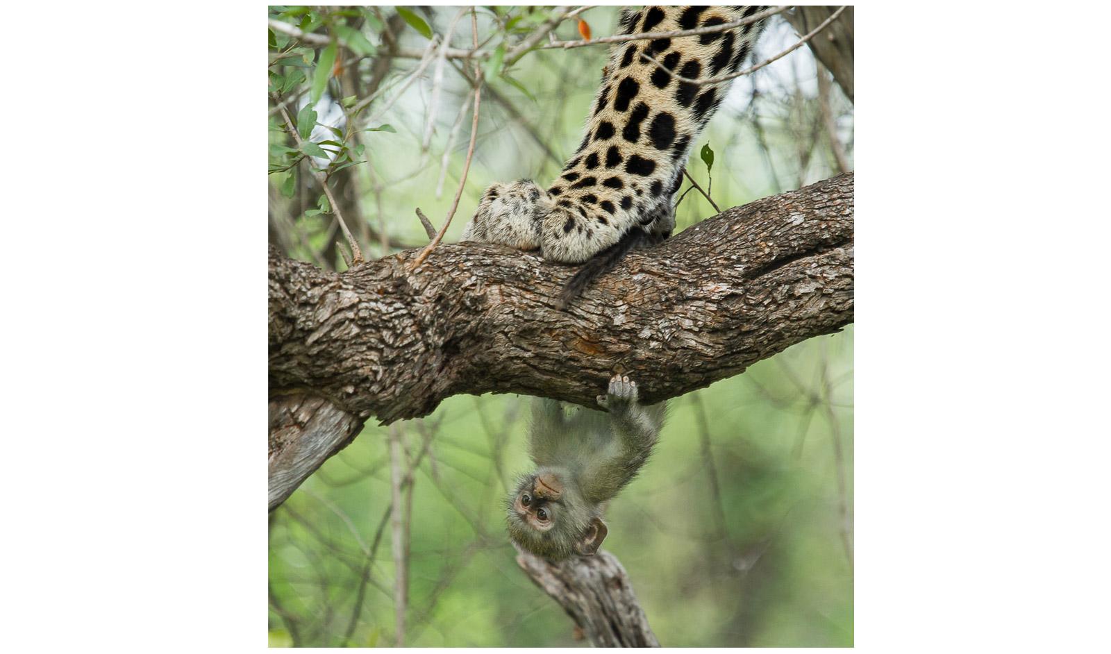 Chris-Renshaw-KrugerNP-monkey-and-leopard