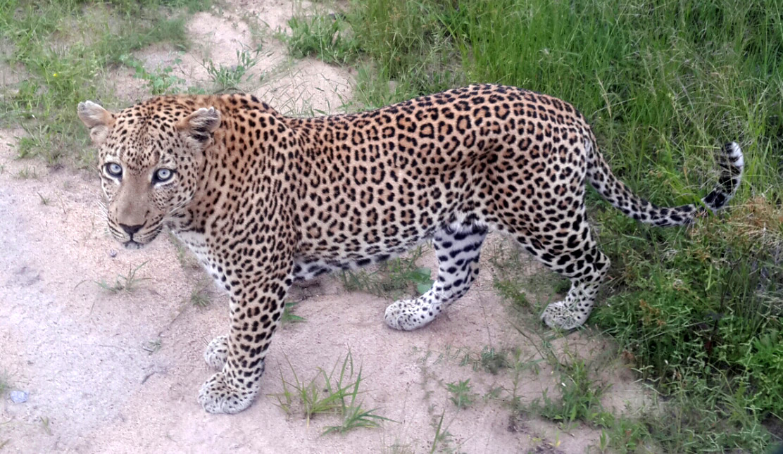 mvula-leopard-djuma