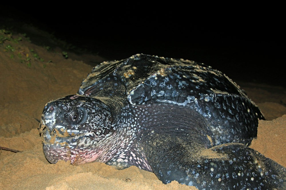 Leatherback-Turtle-Maputaland-Jan-2015-GRH-Collection-063ae
