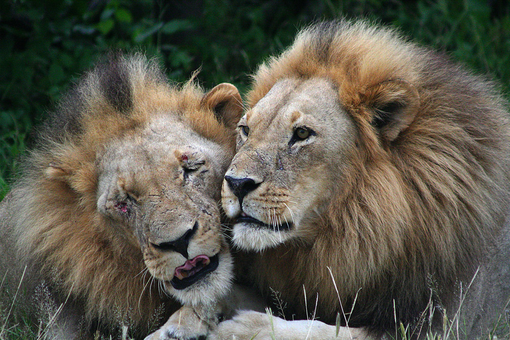 Lion-brothers_okavango-Logan-verwey