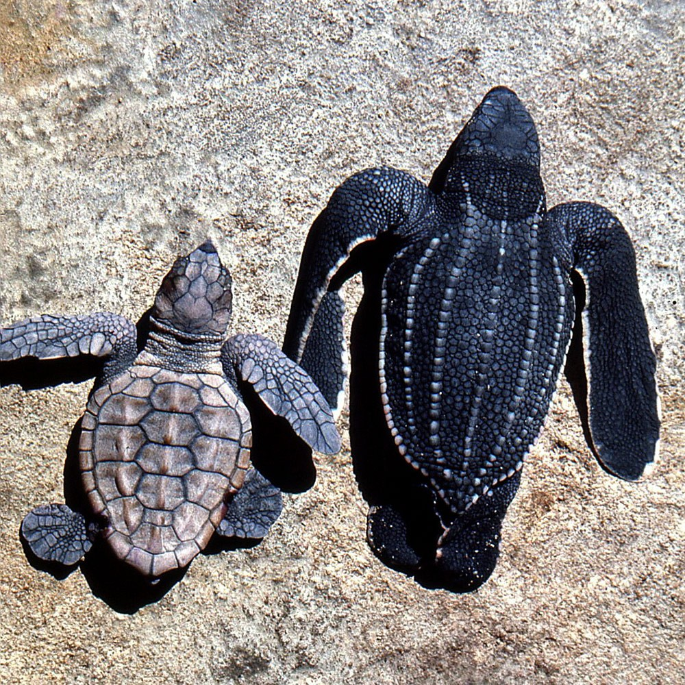 Loggerhead-hatchling-and-leatherback-hatchling-Maputaland-1974--GRH-Collection-303ae