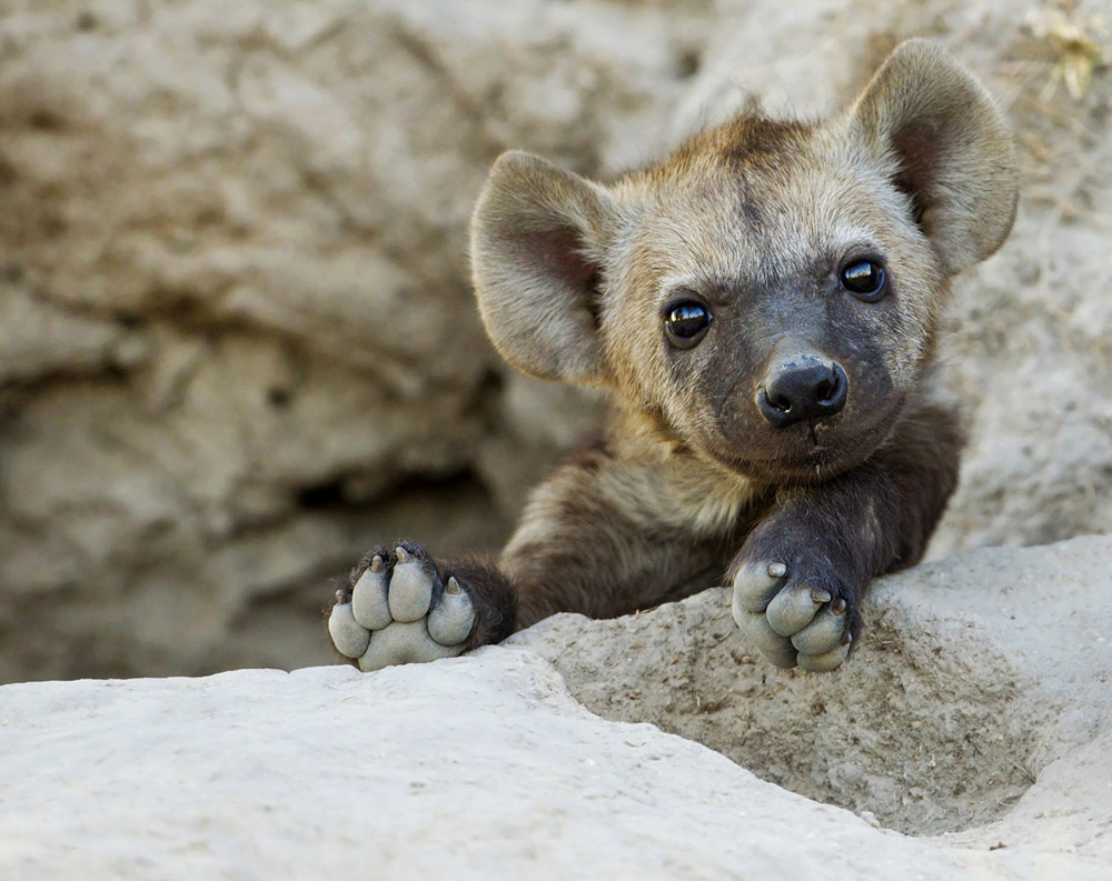 hyena-Prelena-Soma-Owen-Elephant-Plains-Sabie