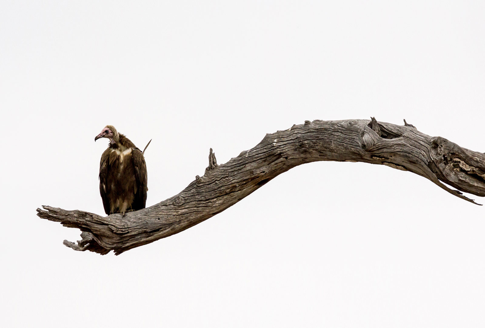 African_Hooded_Vulture__Kruger_National_Park-P.Lindgren44