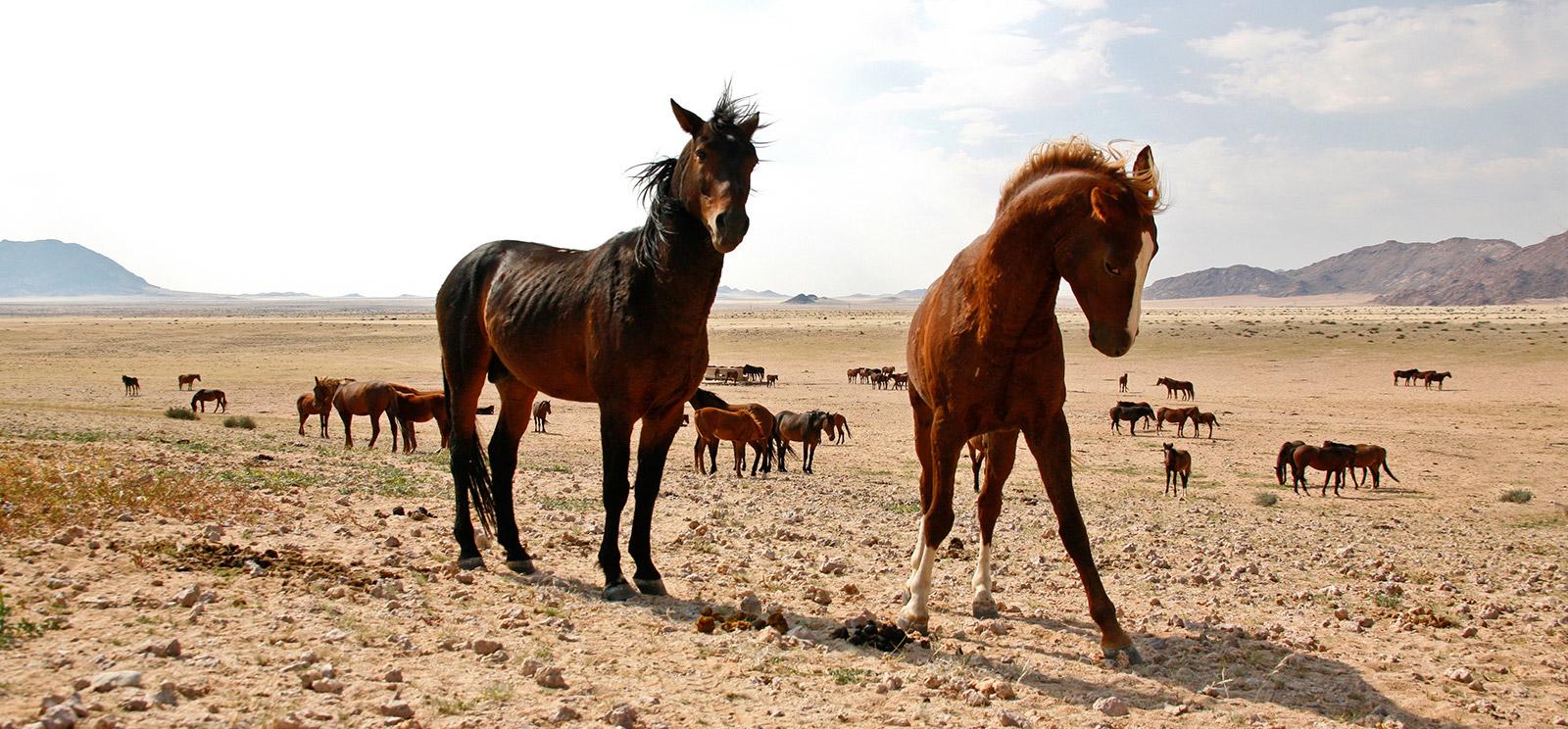 Namib-wild-horses