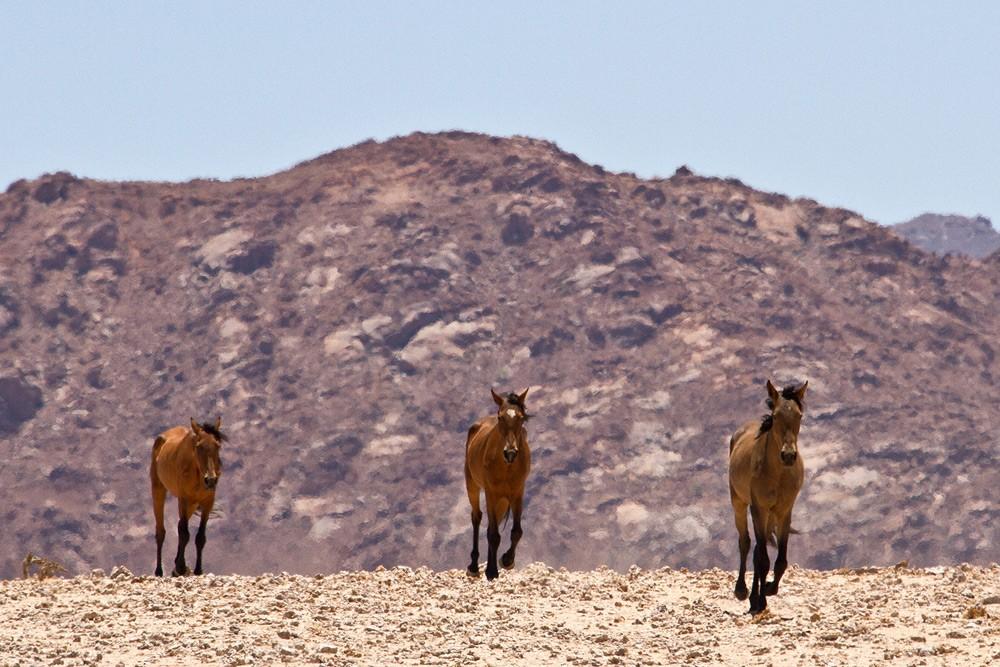 horses-desert