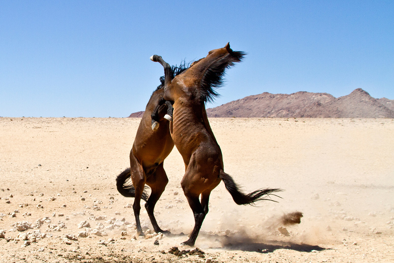 horses-fighting