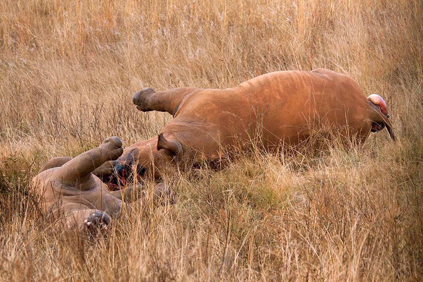 poched-rhinos-2