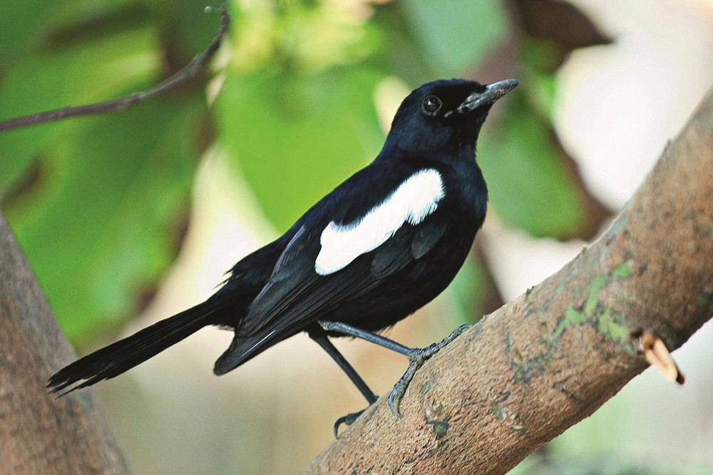 the_seychelles_magpie_robin_1200x800