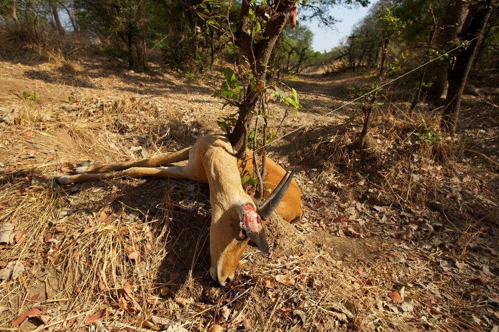 2-South-Luangwa-015-(Snare-Poaching)