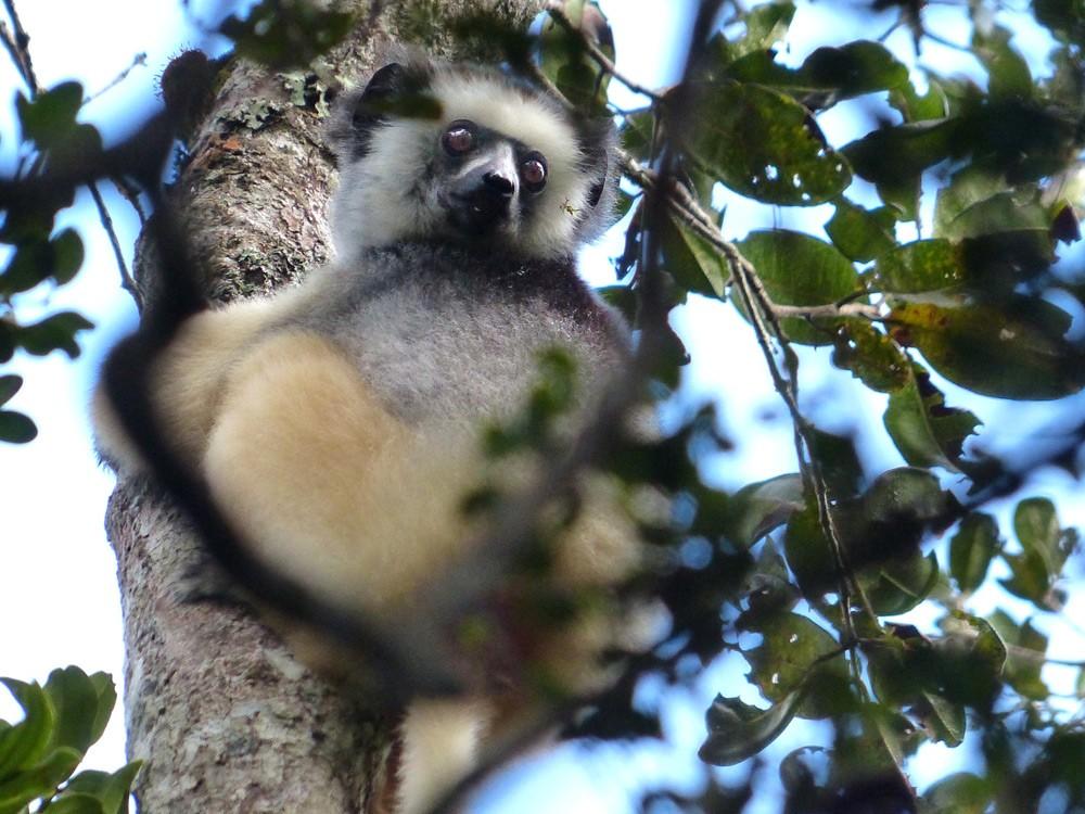 Lemur-Diademed-Sifaka-Saha-Forest-Camp-