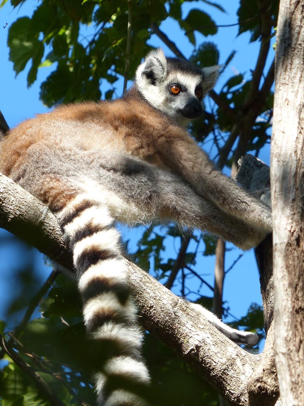 Lemur-Ring-Tailed-Lemur-1
