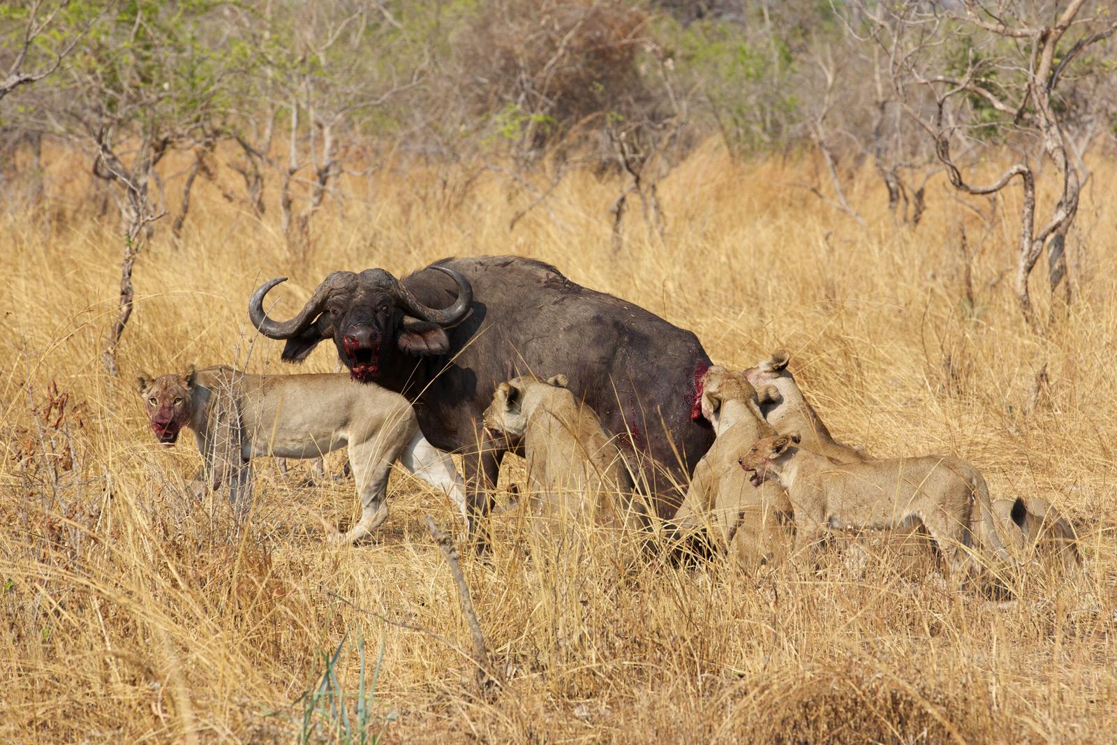 South-Luangwa-152-(Hot-Spring-Lion-Kill)