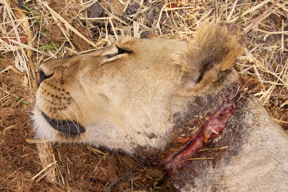 South-Luangwa-185-(Chowo-Lioness-Snare-Removal)