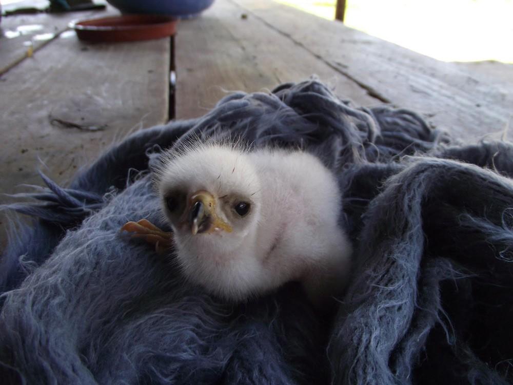 black-sparrow-hawk-chick-at-eagle-encounters