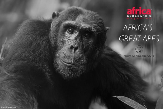 africas-great-apes-issue-72