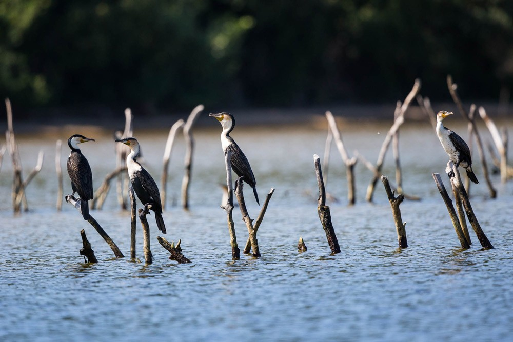 Cormorants sit on traditional fishing traps ©Scott Ramsay, LoveWildAfrica.com