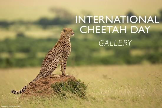 daschu-media-international-cheetah-day-gallery