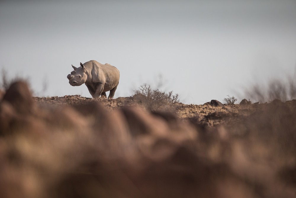 Tracking desert-adapted rhino with Save the Rhino Trust