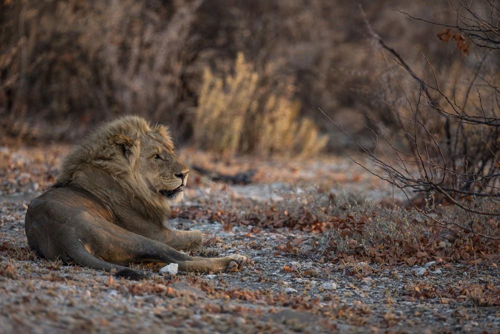 A regal lion surveys his kingdom