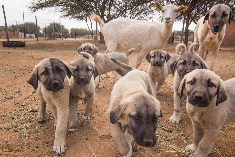 anatolian-shepherd-puppies-eli-walker-cheetah-conservation-fund