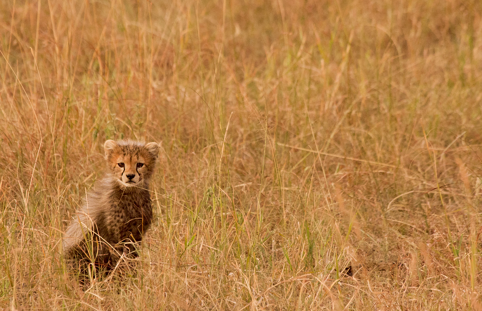 cheetah-cub-in-the-grass-cristian-boix