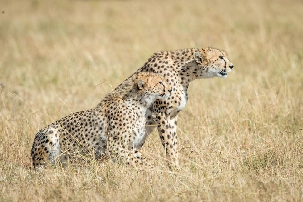cheetah-maasai-mara-neal-cooper-photography