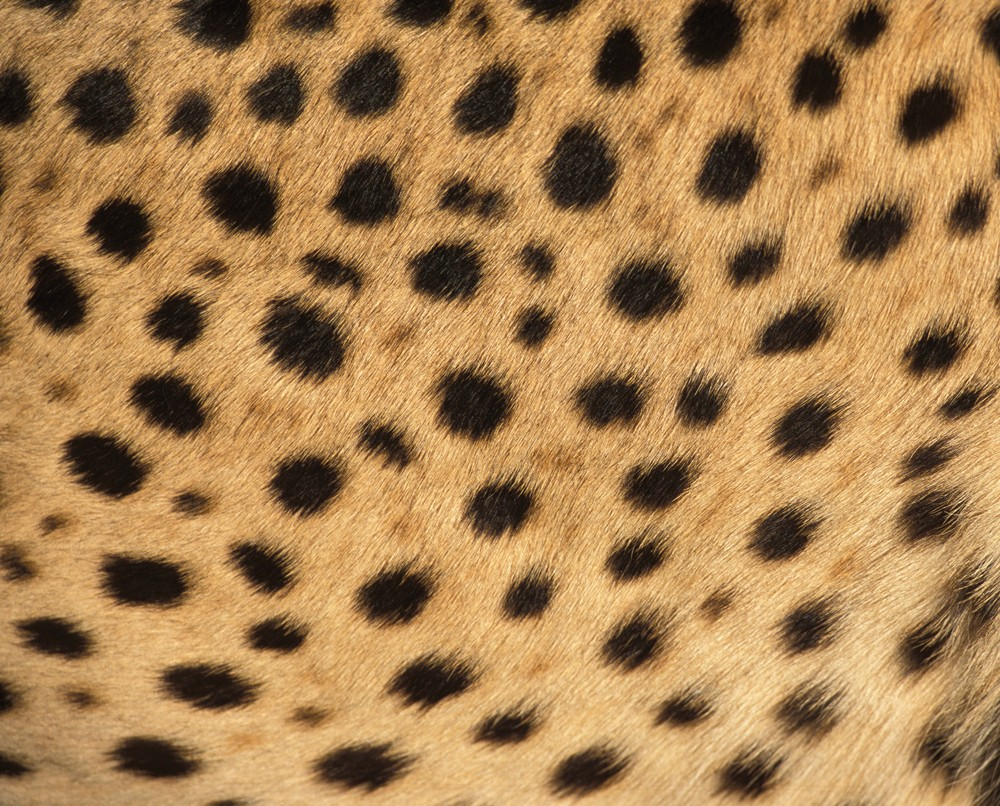 cheetah-spots-andrew-harrington-cheetah-conservation-fund