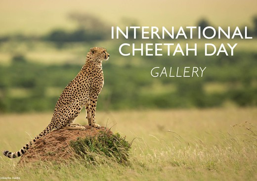 daschu-media-international-cheetah-day-gallery