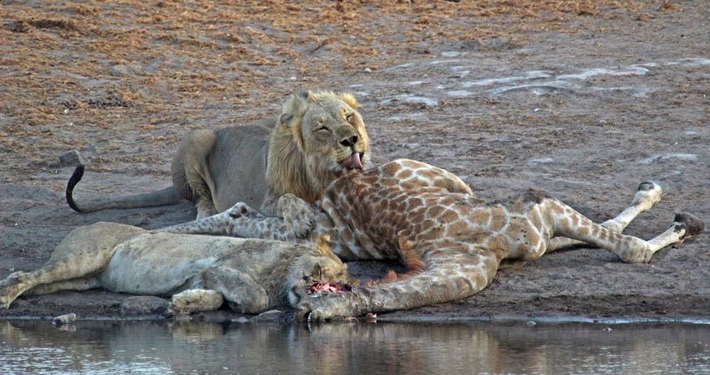 Lions are in for a feast ©Janine Avery
