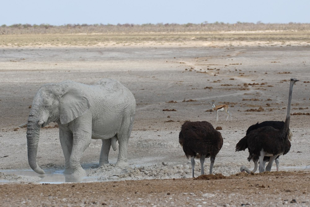 A 'white elephant' keeps the ostriches company at the waterhole ©Janine Avery