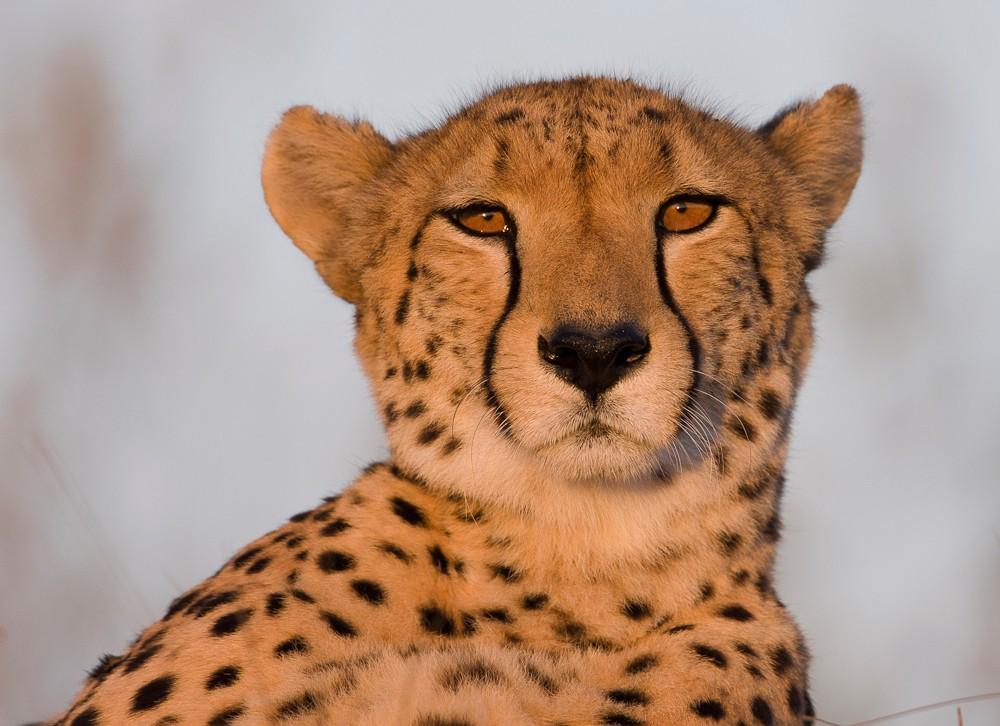 wim-van-den-heever-cheetah