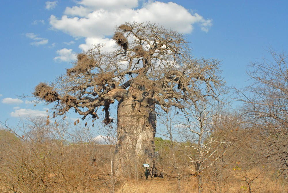huge-baobab-at-mopani-rest-camp