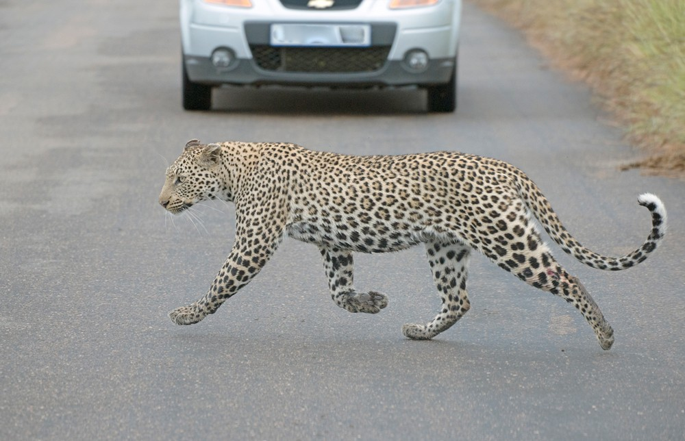 leopard-crossing-road-kruger-sally-robinson