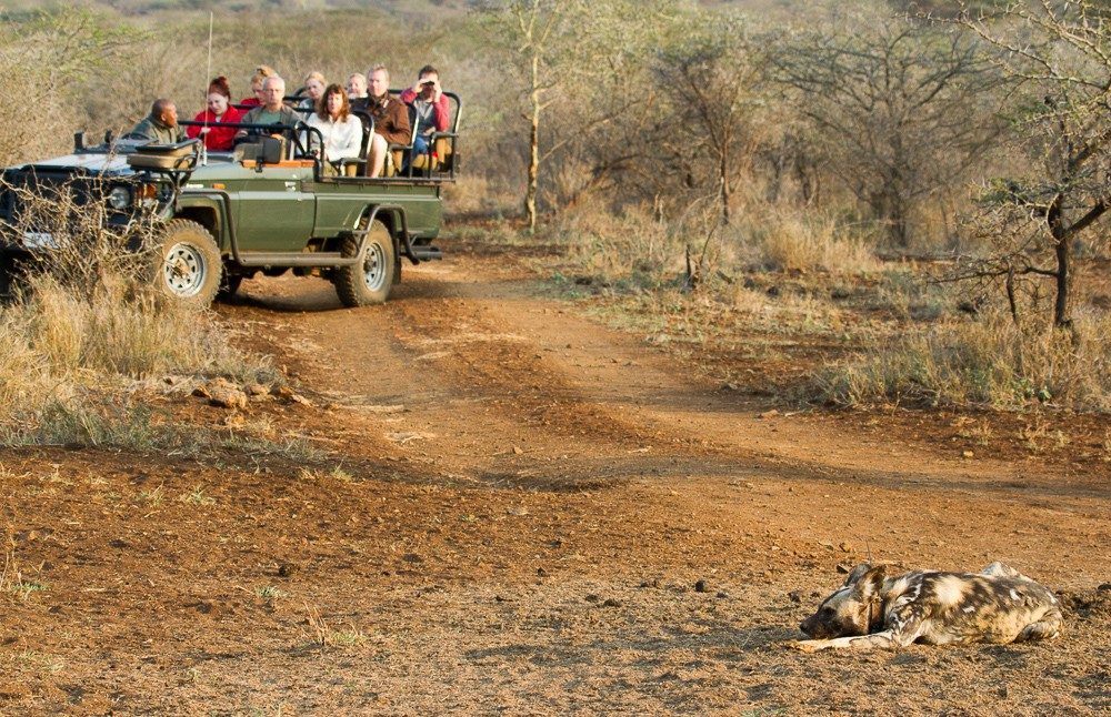 Spotting a wild dog on a game drive with Rhino River Lodge ©Stuart Parker, Zululand Rhino Reserve