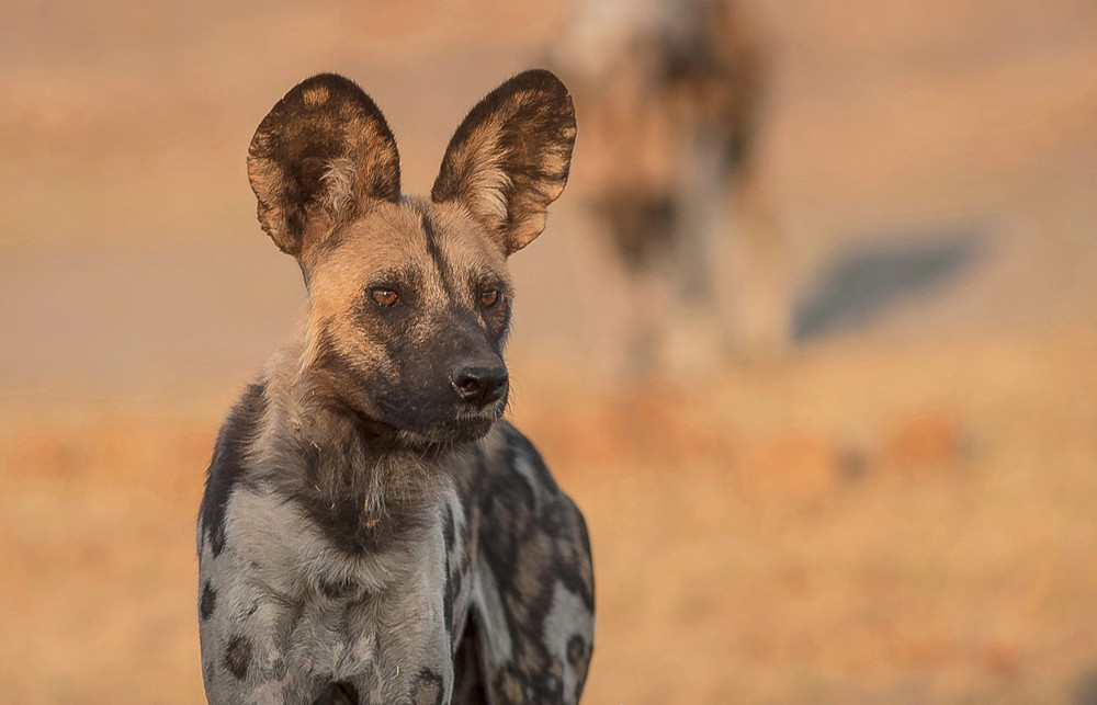 Up close and personal with the African wild dog ©Fred von Winckelmann