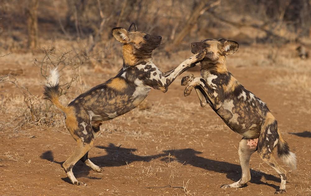 Wild dogs keep themselves entertained ©Francois Van Heerden