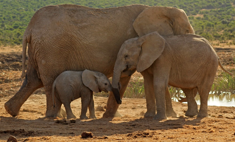 addo-elephants-ryan-avery